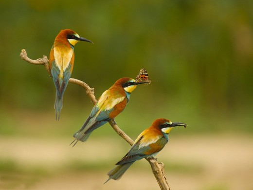 Merops Apiaster - Birds Photography