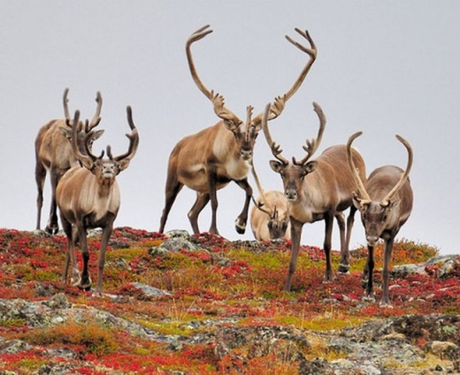 Carribou Migration, Canada