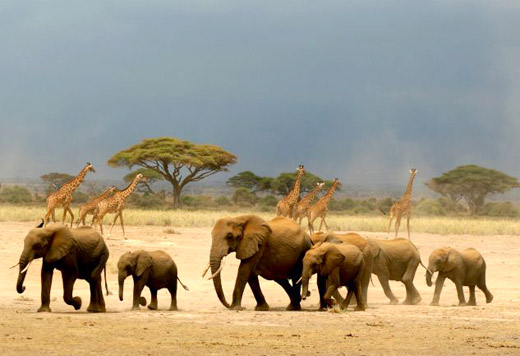 Group of Elephants - Animal Migration