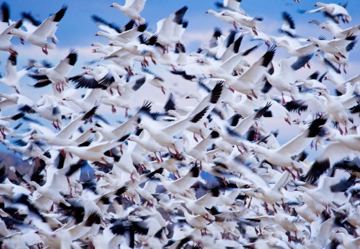 Snow Geese Photo - Animal Migration Photo